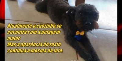 Rolim de Moura – Procura-se cachorro da raça Poodle Toy que está desaparecido
