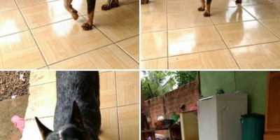 UTILIDADE PÚBLICA -  Procura-se por cadela desaparecida
