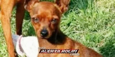 Rolim de Moura – Criança procura por cachorro da raça Pinscher que está desaparecido