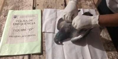 Vídeo -Pombo recheado com celular é arremessado para dentro de presídio em Alvorada, MG