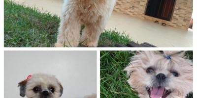 Rolim de Moura – Procura-se por cadela, da raça Shitsu, que desapareceu na tarde de sábado