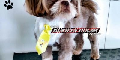Rolim de Moura – Família procura por cachorro da raça Shih Tzu, que desapareceu