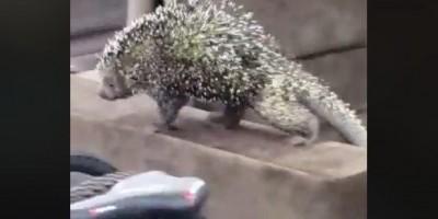 Jaru: Porco espinho adentra lojas Gazin passeia sobre estofados e é capturado por Bombeiros - Vídeo