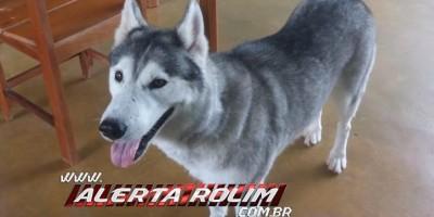 Rolim de Moura - Procura-se por cadela, da raça Husky siberiano, que despareceu no Bairro Beira Rio
