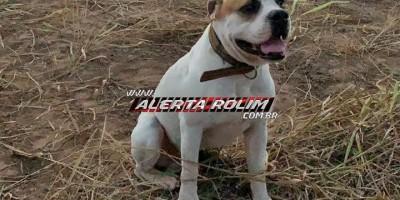 Rolim de Moura – Procura-se cachorro da raça Box, que desapareceu no Bairro Jardim Eldorado