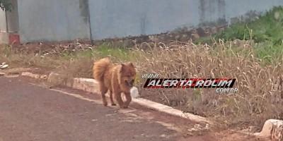 Rolim de Moura – Procura-se por cachorro da raça Chow Chow, que desapareceu no centro da cidade
