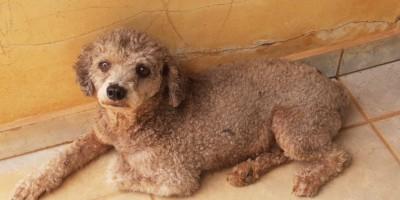 Procura-se por proprietário de cachorro que foi encontrado na noite do dia 31 de dezembro, em Rolim de Moura