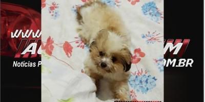 Ji-Paraná - Procura-se por cachorro da raça Shih Tzu, que está desaparecido