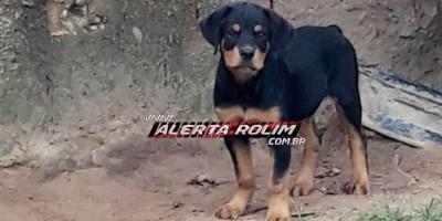 Rolim de Moura – Procura-se por cachorro desaparecido da raça Rottweiler