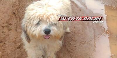 Rolim de Moura - Procura-se por um cachorro da raça Shih-tzu que despareceu próximo a Ciretran