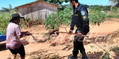 Jiboia com mais de 03 metros é capturada por equipe de Radiopatrulha da Polícia Militar, em Migrantinópolis - Vídeo