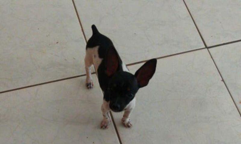Procura-se dois cães da raça Pinscher que desapareceram no Centenário, em Rolim de Moura; família oferece recompensa