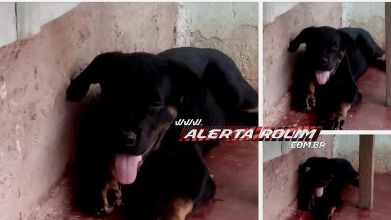 Procura-se por cachorro, que desapareceu no Bairro Olímpico, em Rolim de Moura