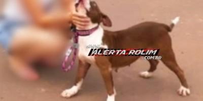 Procura-se por cadela da raça Pitbull, que desapareceu há alguns dias