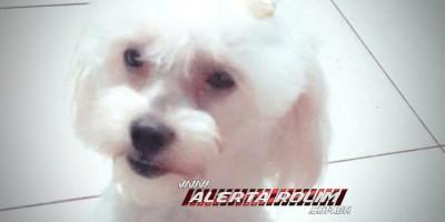 Familia procura e oferece recompensa por cachorra Poodle, que desapareceu em Rolim de Moura