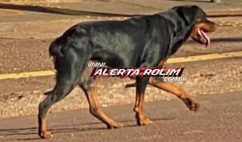 Procura-se e oferece recompensa por cachorra da raça Rottweiler, que desapareceu em Rolim de Moura