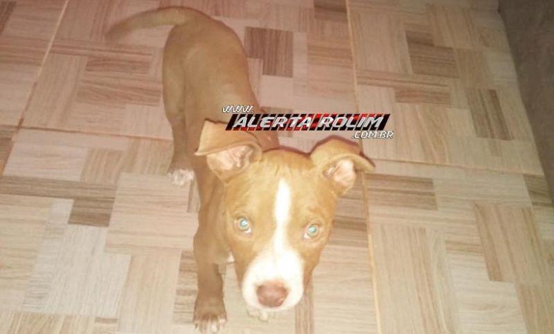 Procura-se e oferece recompensa por cadela da raça Pibull, que desapareceu em Rolim de Moura