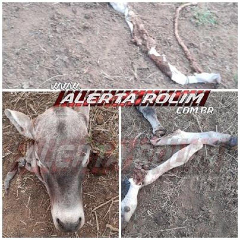 Gado é abatido e carneado em propriedade rural, em Rolim de Moura