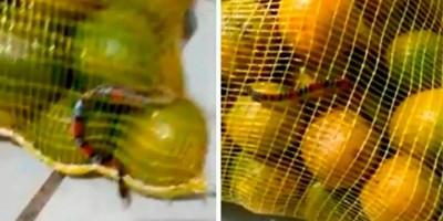 Mulher encontra cobra coral em saco de laranjas, Veja o vídeo