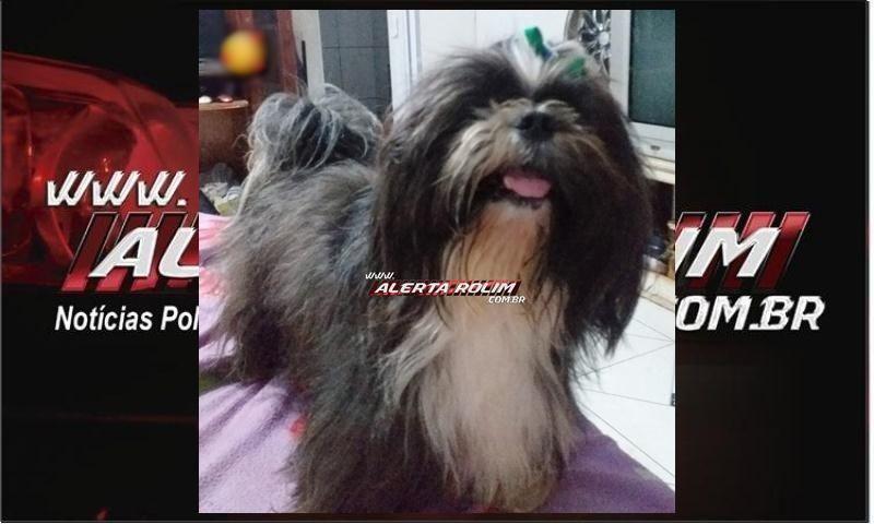Procura-se por cachorro da raça Shih Tzu, que desapareceu no centro, em Rolim de Moura