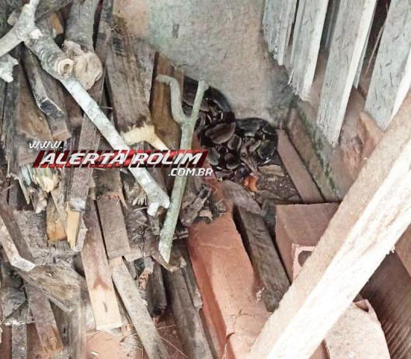 Bombeiros capturam em residência no Jardim Tropical Jiboia com mais de 02 metros de comprimento, em Rolim de Moura