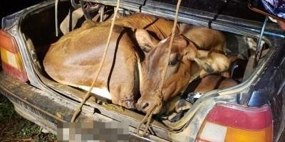 Brasil - Bezerro e novilha são encontrados amarrados dentro de carro