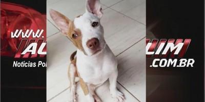Procura-se por cadela da raça Pitbull, que desapareceu no Bairro Nova Morada em Rolim de Moura