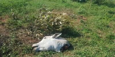 Vaca é abatida e carneada em propriedade rural na linha 182 em Rolim de Moura