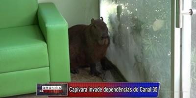 Capivara invade Emissora de TV em Rondônia – Vídeo