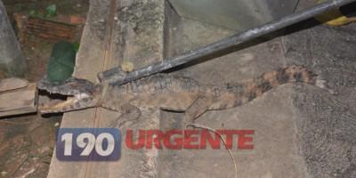 Corpo de Bombeiros captura Jacaré no portão de residência em Ariquemes
