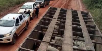 Operação Boi Fantasma da PC RO prende dois em investigação sobre simulação da movimentação de bovinos