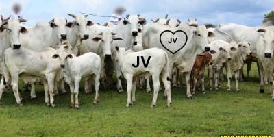 Sitiante procura por 25 cabeças de gado que fugiram de sua propriedade na linha 176 em Rolim de Moura