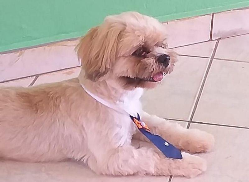 Procura-se cachorro da raça Shih tzu, que desapareceu de uma residência no Bairro Jardim Tropical em Rolim de Moura
