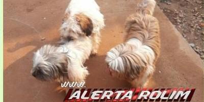 Procura-se por dono de três cães da raça Shih-tzu que apareceram no bairro Cidade Alta em Rolim de Moura