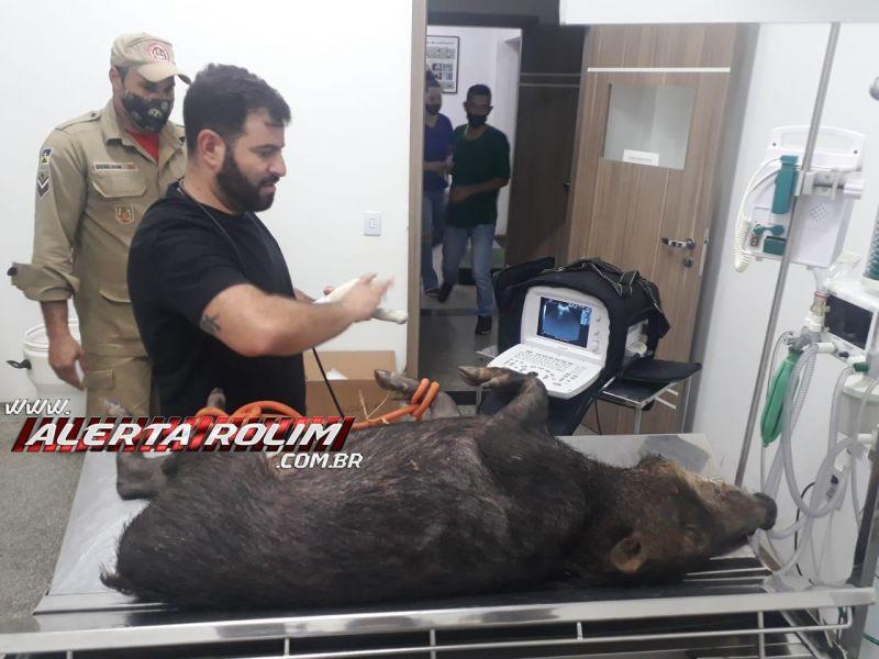 Bombeiros militares capturaram um porcão do mato nesta de sexta-feira em Rolim de Moura