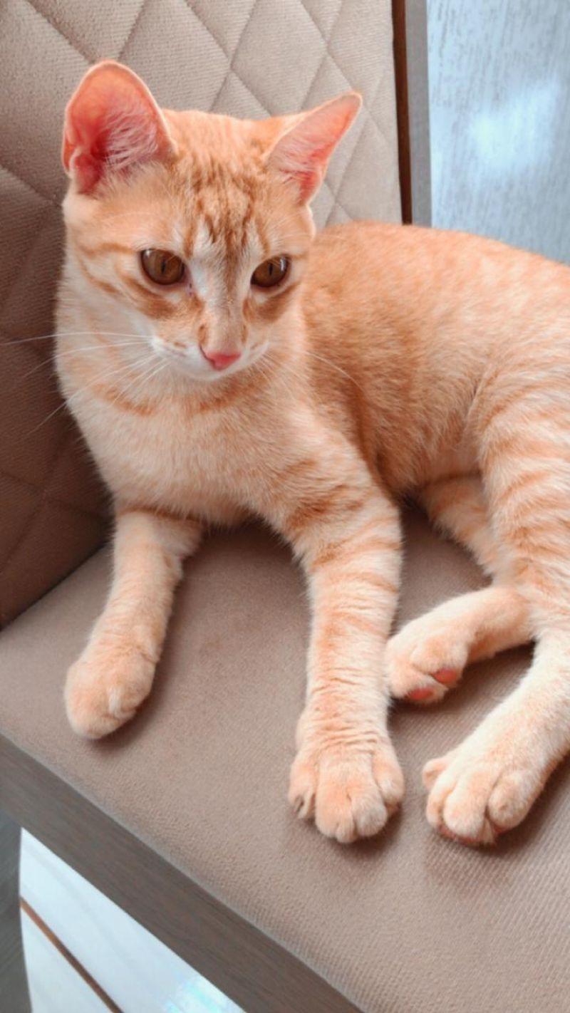 Procura-se por gata que desapareceu de residência no bairro São Cristóvão em Rolim de Moura