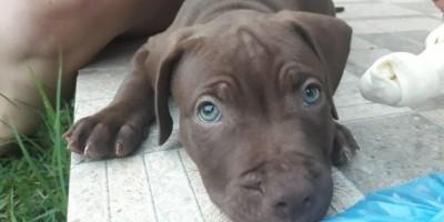 Procura-se e oferece recompensa por filhote de cachorro Pitbull, que desapareceu no centro de Rolim de Moura