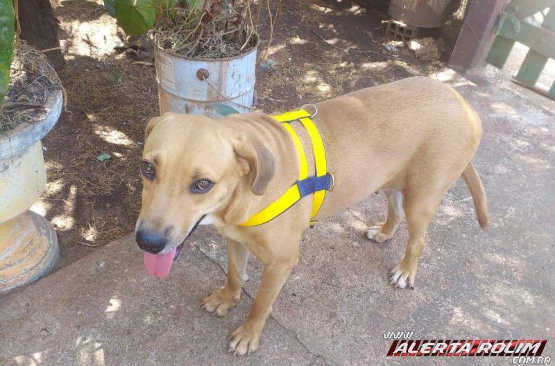 Procura-se por cachorra que desapareceu de residência, no bairro Centenário em Rolim de Moura